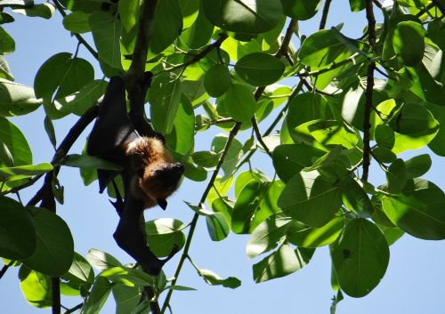 bat,flying fox,animal,mammal,hang,hanging,claws,branch,tree,fig,banyan tree,fauna,khanapur,belgaum,india
