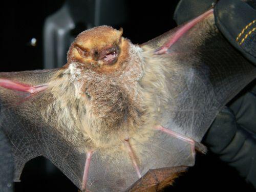 bat seminole bat large