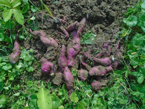 batáta sweet potato ipomoea bata depression