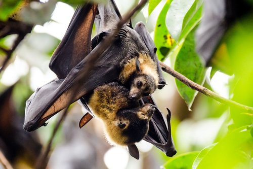 bats  flying foxes  spectacled flying fox