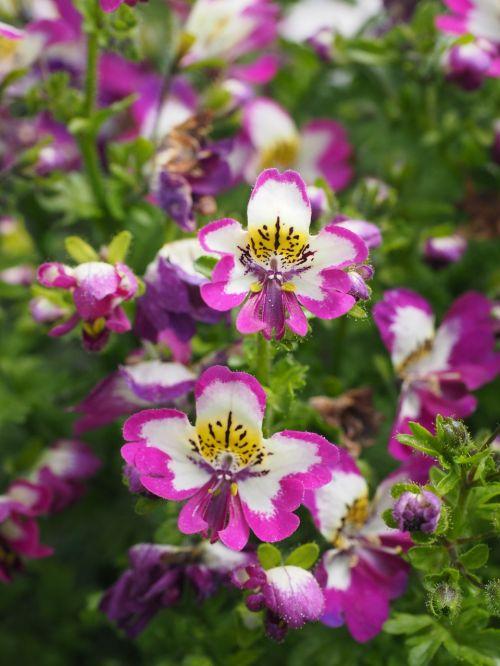 bauernorchidee flowers pink