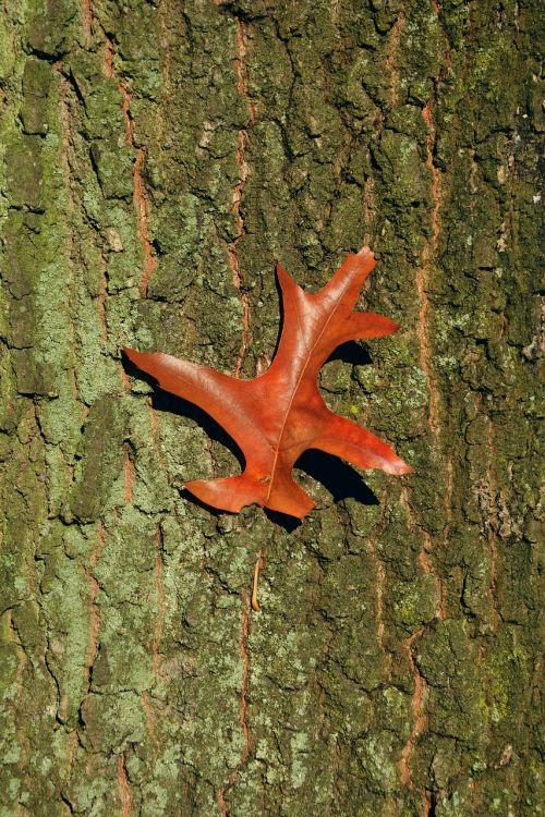 baustamm tree bark oak leaf
