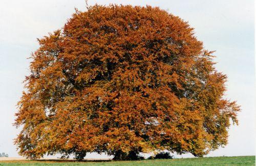 bavaria beech beech tree