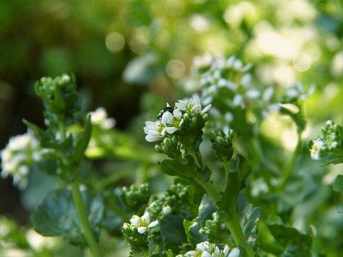 bavarian spoon herb  cochlearia bavarica  moor