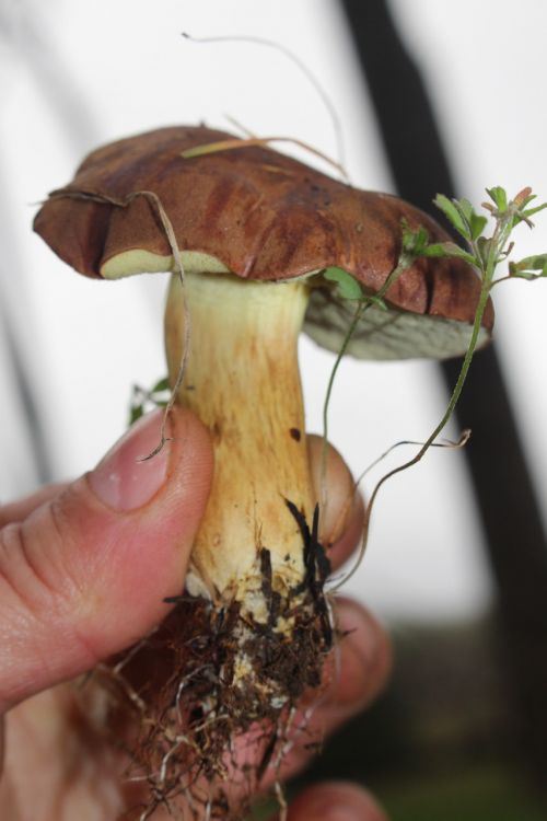 bay bolete fungus mushroom