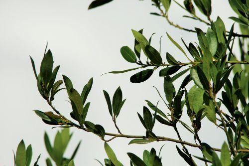 Bay Leaf Against White Cloud
