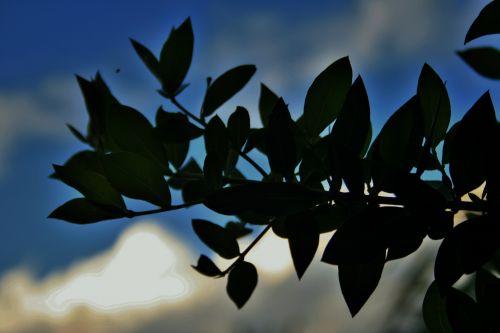 Bay Leaf Branch Silhouette