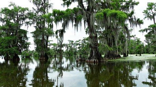 bayou  louisiana  cypress