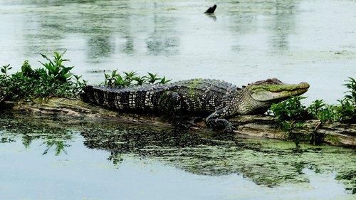 bayou  louisiana  alligator