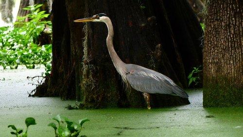 bayou  bird  marsh