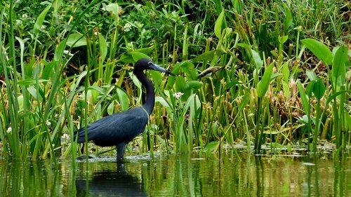 bayou  bird  louisiana