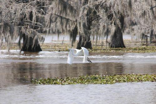 bayou bird egret