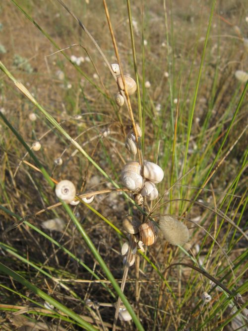 beach snails grass
