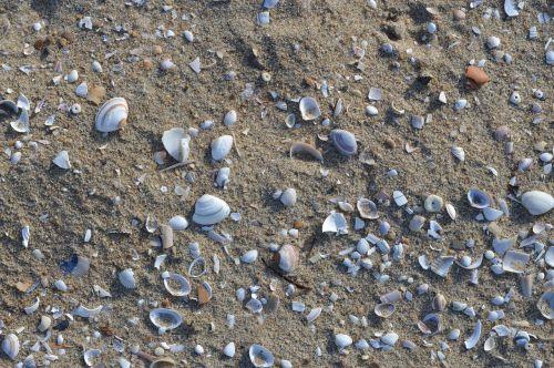 beach shells shell