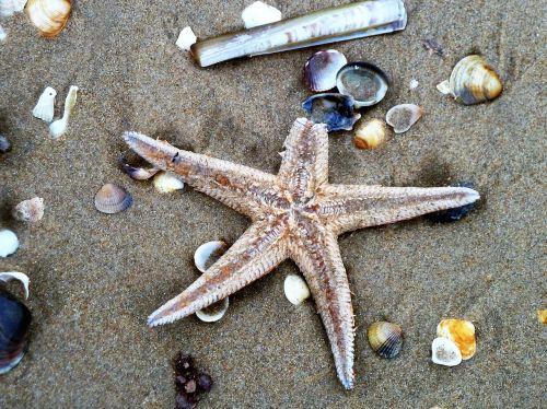 starfish beach shell