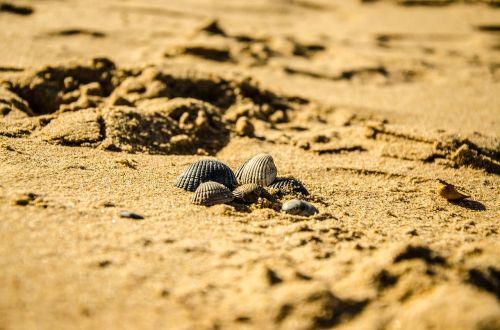 beach nature seashell