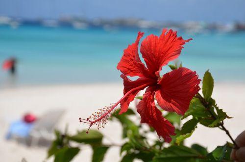 beach hibiscus flower caribbean
