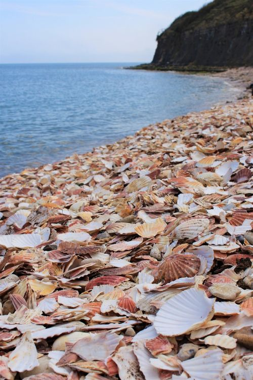 beach clam shells shells
