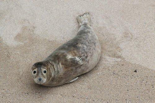 beach  cornwall  seal
