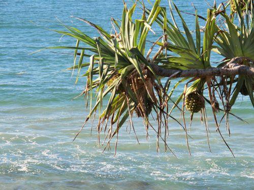 beach pandanas tree pandanas