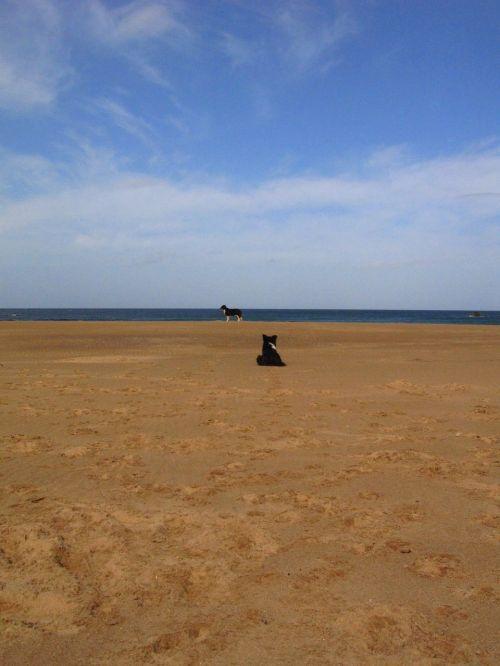 papludimys,šuo,Škotija,naminis gyvūnėlis,gyvūnas,vandenynas,smėlis,jūra,linksma,laisvalaikis,gamta,lauke,žaisti,atsipalaiduoti,mėlynas