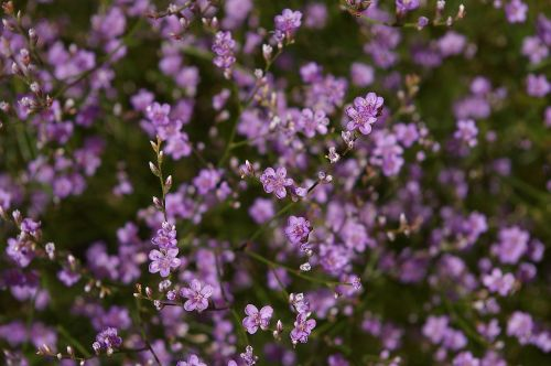 beach lilac trockenblume summer flower