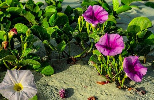 beach morning glory  bloom  flowers