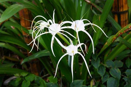beach spider lily  spider lily  white
