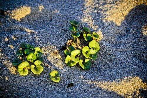 Beach Succulent Plants