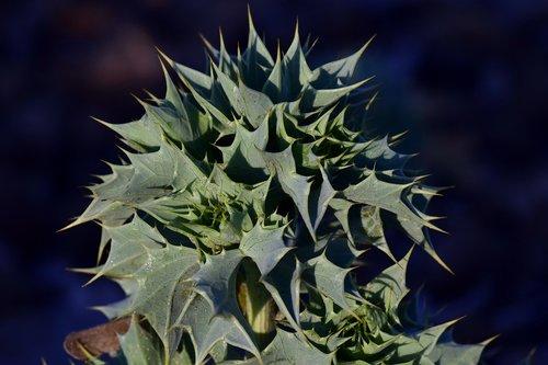 beach-thistle  eryngium maritimum  cactus
