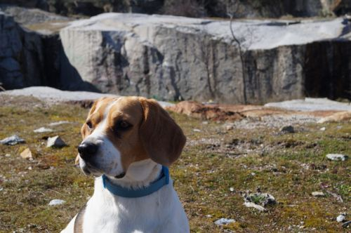 beagle animal friend