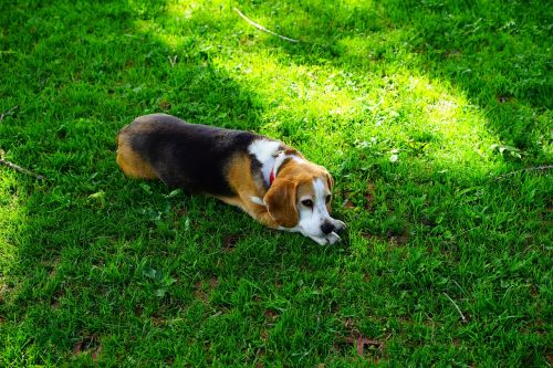 beagle dog dog face