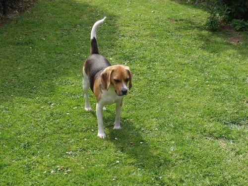 beagle pet wildlife photography