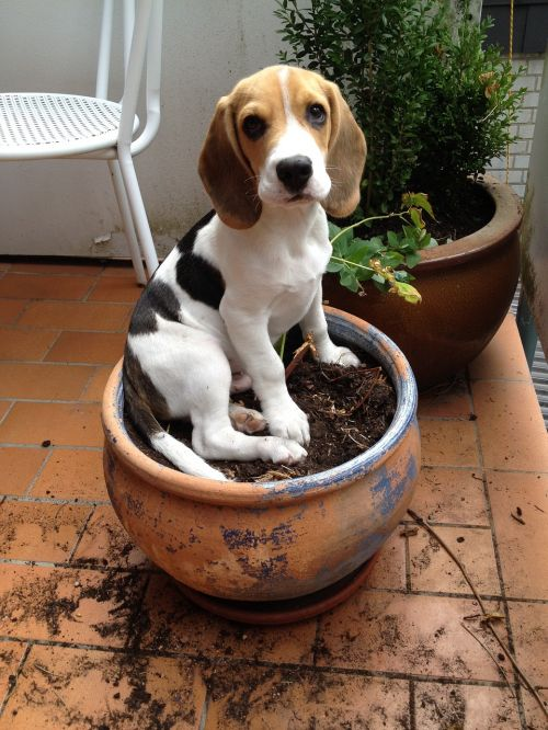 beagle flowerpot dog
