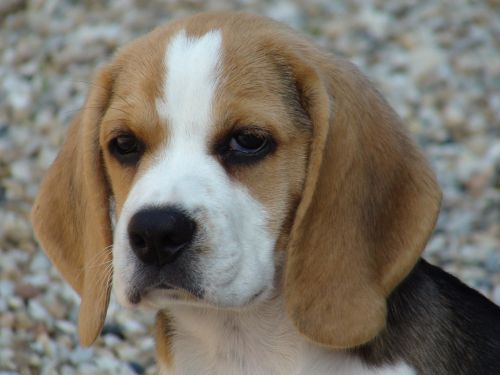 beagle dog domestic animal