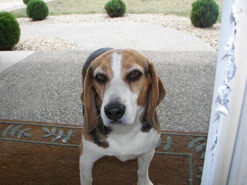 beagle closeup curious