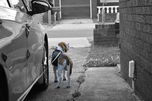 beagle  dog  canine