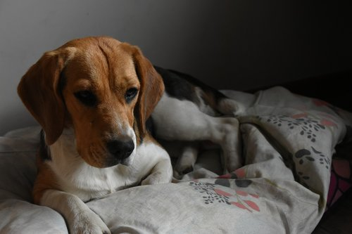 beagle  tricolor  dog