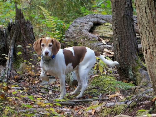 beagle dog purebred