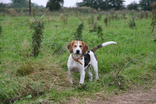 beagle beagle pup dog