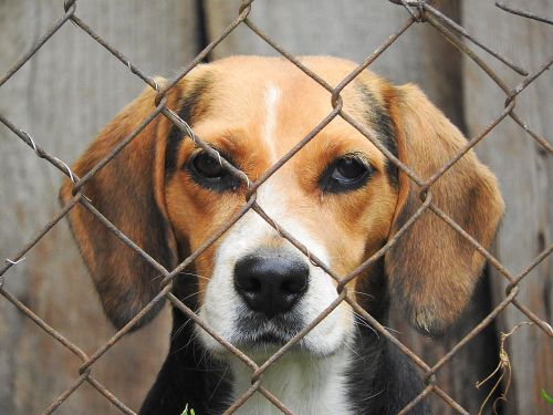 beagle dog imprisoned