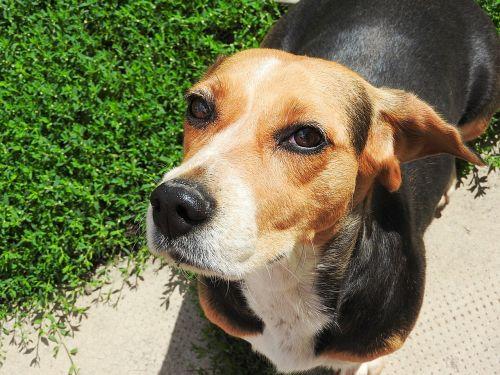 beagle dog pet