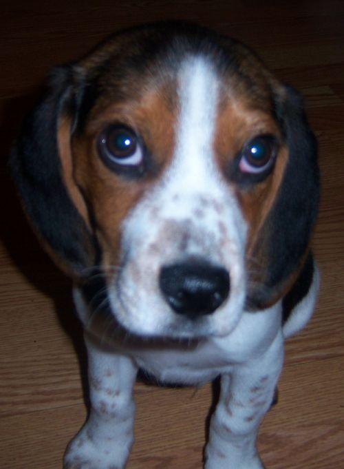 beagle, grynas & nbsp, veisiamas, mielas, šuniukas, šuo, kilmės, žavinga, šuniukas, begalio šuniukas