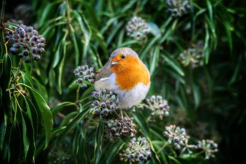beak bird european robin