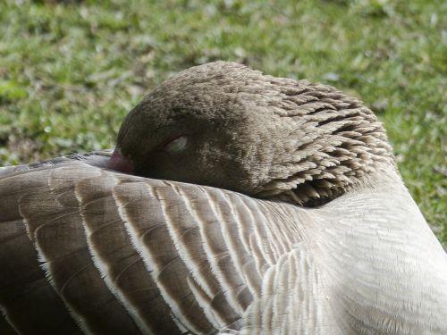 bean goose sleeping feathered
