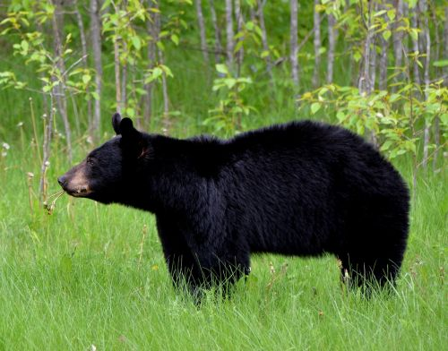bear animal nature