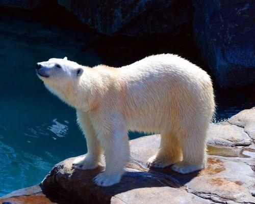bear polar polar bear
