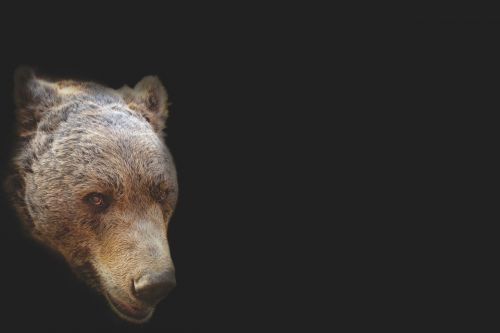 bear bear head artistic