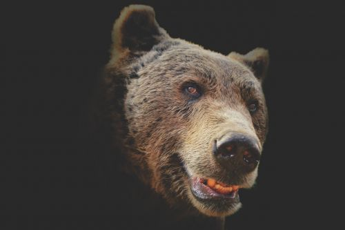 bear animal fur
