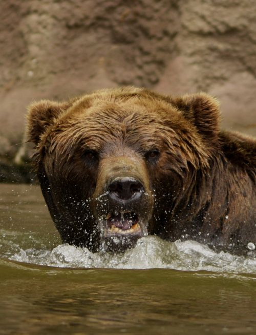 bear water the roar